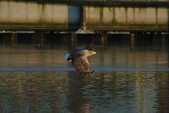 Seeadler - ein schöner, größter polnischer Adler in seinem ganzem Ruhm Lizenzfreie Stockfotografie