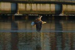 Seeadler - ein schöner, größter polnischer Adler in seinem ganzem Ruhm Lizenzfreie Stockfotos