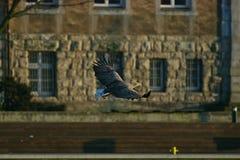 Seeadler - ein schöner, größter polnischer Adler in seinem ganzem Ruhm Stockbild