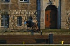 Seeadler - ein schöner, größter polnischer Adler in seinem ganzem Ruhm Stockbilder