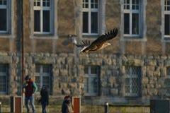 Seeadler - ein schöner, größter polnischer Adler in seinem ganzem Ruhm Lizenzfreie Stockbilder