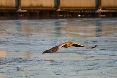 Seeadler - ein schöner, größter polnischer Adler in seinem ganzem Ruhm Stockfotos
