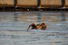 Seeadler - ein schöner, größter polnischer Adler in seinem ganzem Ruhm Lizenzfreies Stockbild