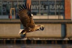 Seeadler - ein schöner, größter polnischer Adler in seinem ganzem Ruhm Lizenzfreies Stockfoto