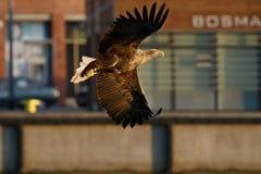 Seeadler - ein schöner, größter polnischer Adler in seinem ganzem Ruhm Stockfoto