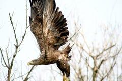 Seeadler - ein schöner Vogel lizenzfreie stockfotos