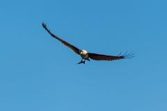 Seeadler fing Fische und ein Fliegen Lizenzfreie Stockbilder