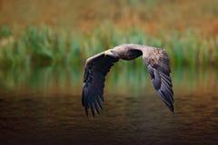 Seeadler, Haliaeetus albicilla, Flug über dem Wasserfluß, Raubvogel mit Wald im Hintergrund, Tier im natu Lizenzfreie Stockbilder