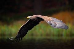 Seeadler, Haliaeetus albicilla, Flug über dem Wassersee, Raubvogel mit Wald im Hintergrund, Tier im natur Stockfotos