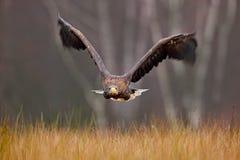 Seeadler, Haliaeetus albicilla, Gesichtsflug, Raubvogel mit Wald im Hintergrund Tier im Naturlebensraum, Norwa Stockfotografie
