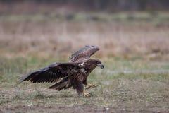 Seeadler im Flug, Polen Lizenzfreies Stockbild
