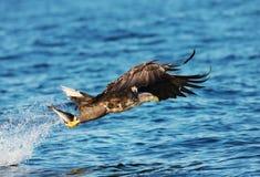 Seeadler mit einem Fisch in den Greifern Stockbilder