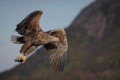 Seeadler mit Fang Lizenzfreies Stockfoto