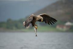 Seeadler mit Fang Stockfotos