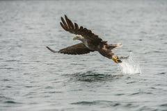 Seeadler mit Fang Lizenzfreie Stockfotografie