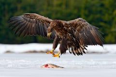 Seeadler mit Fangfischen im verschneiten Winter, Schnee im Waldlebensraum, landend auf Eis Winterszene der Aktionswild lebenden t Lizenzfreies Stockfoto