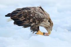 Seeadler mit Fangfischen im verschneiten Winter, Schnee im Waldlebensraum Szene der wild lebenden Tiere von der wilden Natur Fütt Stockfoto