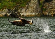 Seeadler mit seinem Fang in Norwegen Lizenzfreie Stockfotografie