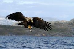 Seeadler mit seinem Fang in Norwegen Lizenzfreie Stockbilder