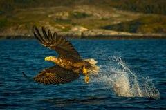 Seeadler mit seinem Fang in Norwegen Stockfotografie