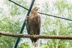 Seeadler oder Orlan-Whitetail, der auf einer Niederlassung sitzt Stockfotografie