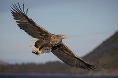 Seeadler und Fische Lizenzfreie Stockbilder