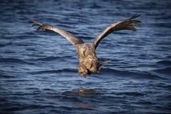 Seeadler ungefähr zu schlagen Stockfotografie