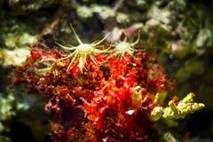 Seeanemone im Aquarium Lizenzfreies Stockfoto