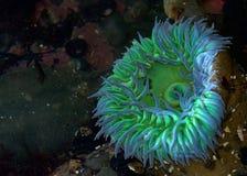 Seeanemone im seichten Gezeitenpoolwasser Stockbilder