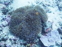 Seeanemone mit Clown-Fischen Lizenzfreies Stockbild