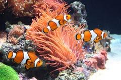 Seeanemone und Clownfische Stockbild