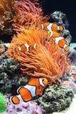Seeanemone und Clownfische Lizenzfreies Stockfoto