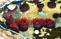 Seeanemonen in einem Felsenpool Lizenzfreie Stockfotos