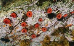 Seeanemonen-Perlenanemone Actinia equina Lizenzfreie Stockfotos