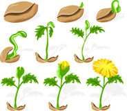 Seed 02. Dandelion, seed sprouting growth, phases stock illustration