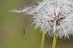 Seed. A matured seed detached from the base Royalty Free Stock Image