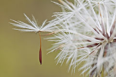 Seed. The new seed is detaching from the seed stem Royalty Free Stock Photography