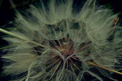 Seed - Asteraceae Royalty Free Stock Photography
