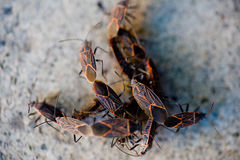 Seed Bugs Stock Images