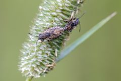 Seed bugs. Nithecus jacobaeae mating on timothy grass. Close up stock photos