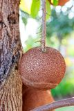Seed cannonball tree hanging. Stock Image
