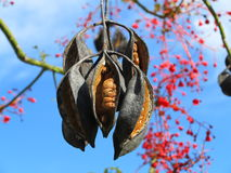 Seed capsules on flame tree. Seed capsules hanging on a flame tree, native to Australia. Set against the blue sky with its flowering branches in the background Royalty Free Stock Photography