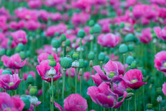 Seed capsules and pink Papaver flowers Royalty Free Stock Image
