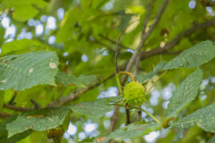 Seed case on horse chestnut tree Stock Images
