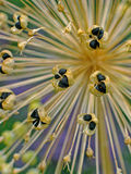 Seed cases of Allium Royalty Free Stock Photo