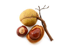 Seed cases and conkers from a red horse chestnut tree Royalty Free Stock Photo