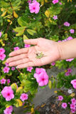 Seed of Catharanthus roseus in hand. Royalty Free Stock Photography