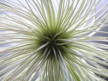 Seed from clematis Stock Photos