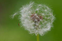 Seed Coming off a Dandelion Royalty Free Stock Images