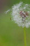 Seed Coming off a Dandelion Royalty Free Stock Photography